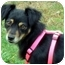 Photo 2 - Manchester Terrier/Papillon Mix Dog for adoption in Overland Park, Kansas - Pebbles
