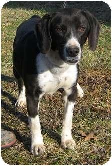 Beagle/Border Collie Mix Dog for adoption in Hillsboro, Ohio - Toby
