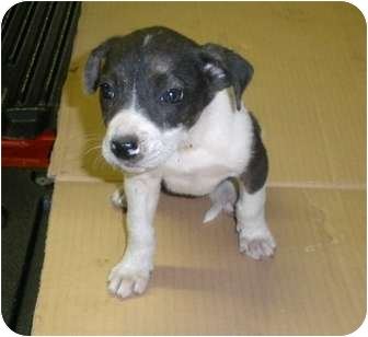 Beagle Mix Puppy for adoption in Paintsville, Kentucky - Paige