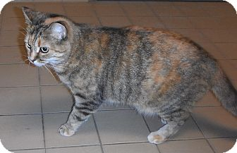 Domestic Shorthair Cat for adoption in Jackson, Michigan - Kitty