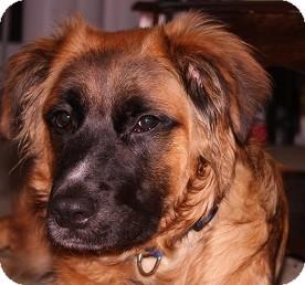 Retriever (Unknown Type) Mix Dog for adoption in Hamilton, Ontario - Toby