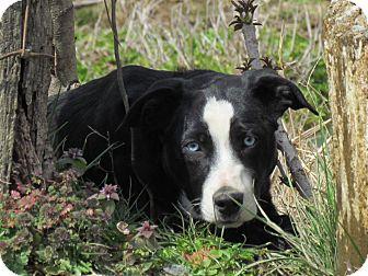 Australian Shepherd/Border Collie Mix Dog for adoption in Hartford, Connecticut - SKY
