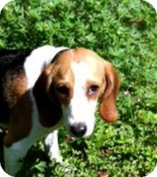 Beagle Dog for adoption in Houston, Texas - Sparticus