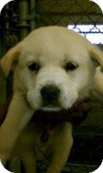 Labrador Retriever Mix Puppy for adoption in Rocky Mount, North Carolina - Blake