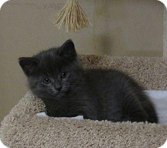 Domestic Shorthair Kitten for adoption in Owatonna, Minnesota - Pooh