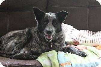 Blue Heeler Mix Dog for adoption in Philadelphia, Pennsylvania - Hobbit