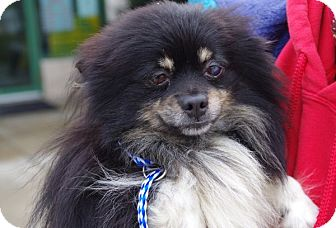 Pomeranian Mix Dog for adoption in Elyria, Ohio - Barry