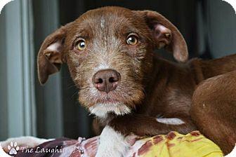 German Wirehaired Pointer/Pit Bull Terrier Mix Dog for adoption in Stillwater, Oklahoma - Zander