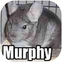 Adopt A Pet :: Murphy - Virginia Beach, VA