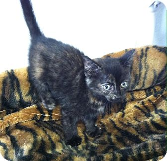 Domestic Shorthair Kitten for adoption in Greensburg, Pennsylvania - Bryssa