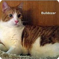 Adopt A Pet :: Bulldozer - Portland, OR