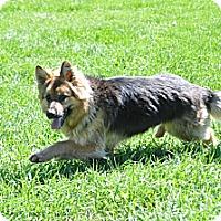 Adopt A Pet :: Bonnie-Long Coat - Hamilton, MT