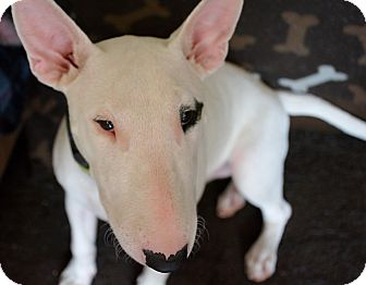 Bull Terrier Dog for adoption in Houston, Texas - Butter Bean