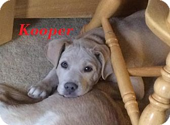 Labrador Retriever Mix Puppy for adoption in Harrisburg, North Carolina - Kooper