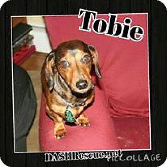 Dachshund Dog for adoption in Pocomoke, Maryland - Tobie