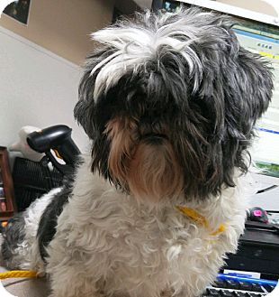 Shih Tzu Mix Dog for adoption in Fruit Heights, Utah - Maggie