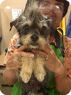 Schnauzer (Miniature)/Jack Russell Terrier Mix Dog for adoption in San Francisco, California - Echo