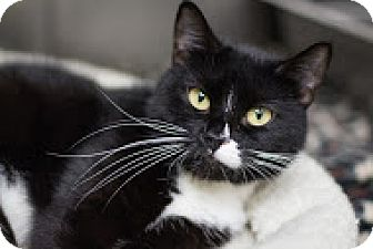 Domestic Shorthair Cat for adoption in Bradenton, Florida - Adeline