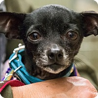 Adopt A Pet :: Gabby - Grass Valley, CA