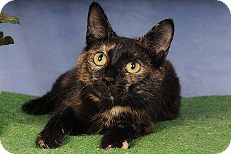 Domestic Shorthair Cat for adoption in mishawaka, Indiana - Tori
