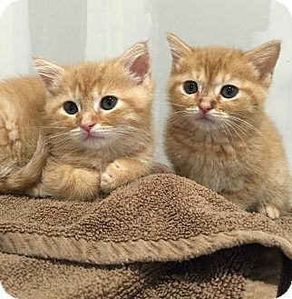 Domestic Shorthair Kitten for adoption in Cincinnati, Ohio - Honeysuckle&Dahlia
