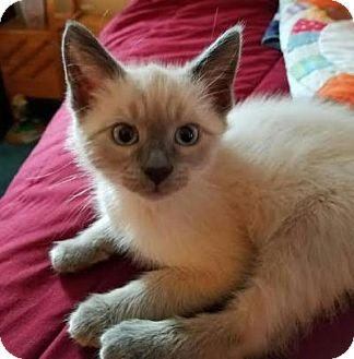 Siamese Kitten for adoption in Breinigsville, Pennsylvania - Rocky