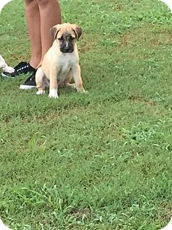Boxer Mix Puppy for adoption in Hopkinsville, Kentucky - Louis
