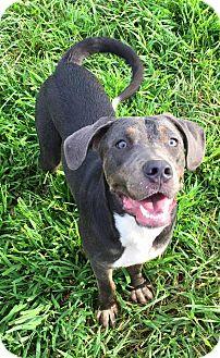 Weimaraner/Labrador Retriever Mix Dog for adoption in Russellville, Kentucky - Pretzel