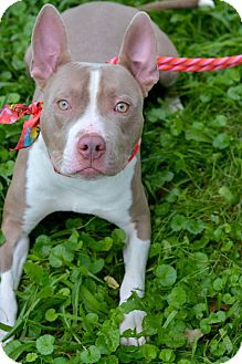 Pit Bull Terrier Mix Puppy for adoption in Lincoln, Nebraska - Blue