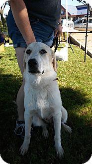 Great Pyrenees/Anatolian Shepherd Mix Puppy for adoption in Joshua, Texas - Sunnie