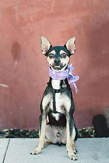 Chihuahua/Miniature Pinscher Mix Puppy for adoption in Redondo Beach, California - Snoop-ADOPT Me!