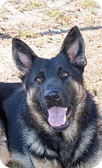 German Shepherd Dog Mix Dog for adoption in Walnut Creek, California - Titus