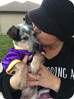 Blue Heeler/Australian Cattle Dog Mix Puppy for adoption in Brandon, South Dakota - Soldier