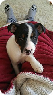 Jack Russell Terrier Mix Puppy for adoption in Union Grove, Wisconsin - Frazier-Puppy Love