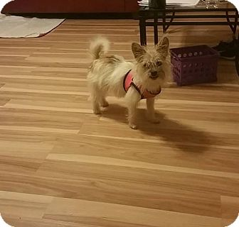 Brussels Griffon/Cairn Terrier Mix Puppy for adoption in Harmony, Glocester, Rhode Island - Fit Bit