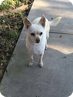 Chihuahua/Terrier (Unknown Type, Small) Mix Dog for adoption in Studio City, California - Thelma