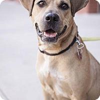 Labrador Retriever Mix Dog for adoption in Brooklyn, New York - Nala