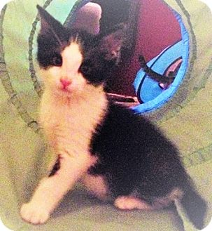 Domestic Shorthair Kitten for adoption in North Highlands, California - Twinkle