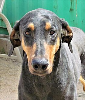 Doberman Pinscher Dog for adoption in San Tan Valley, Arizona - Lilly