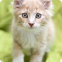Adopt A Pet :: Paprika - Chattanooga, TN