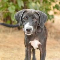 Great Dane/Boxer Mix Dog for adoption in Brighton, Colorado - 918-16