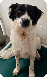 Great Pyrenees/Collie Mix Puppy for adoption in Sylacauga, Alabama - Bosch