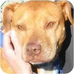 American Pit Bull Terrier Mix Dog for adoption in Berkeley, California - Effie