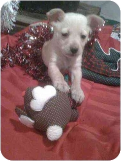 Dachshund/Chihuahua Mix Puppy for adoption in Penn Valley, California - Honey