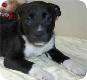 Boxer Mix Puppy for adoption in Struthers, Ohio - Peppermint Patty