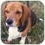 Photo 2 - Beagle Dog for adoption in Nashville, Tennessee - Macie- Adopted