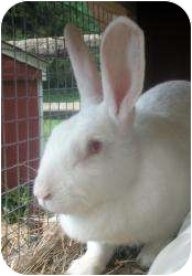 Flemish Giant Mix for adoption in Morristown, New Jersey - Rescued Rabbits!!!