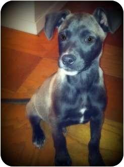 Chihuahua Mix Puppy for adoption in Shreveport, Louisiana - Hunter