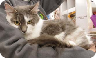 Domestic Mediumhair Cat for adoption in Merrifield, Virginia - La Nina