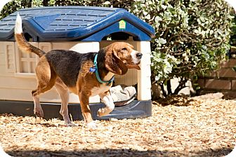 Beagle Dog for adoption in Valley Village, California - Lenny